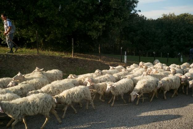 10-3 Sheep L1001503